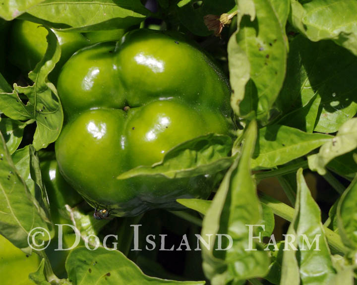 Tomato, Pepper and Eggplant Varieties for 2015 – Dog Island Farm